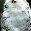 Petal - the Snowy Owl. She is native to Arctic regions.