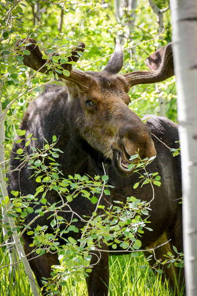 Bull Moose 1