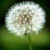 Dandelion #2