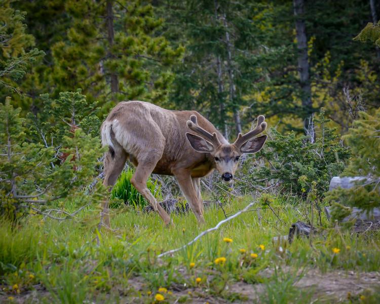 Mule Deer in Velvet 1