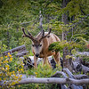 Mule Deer in Velvet 2