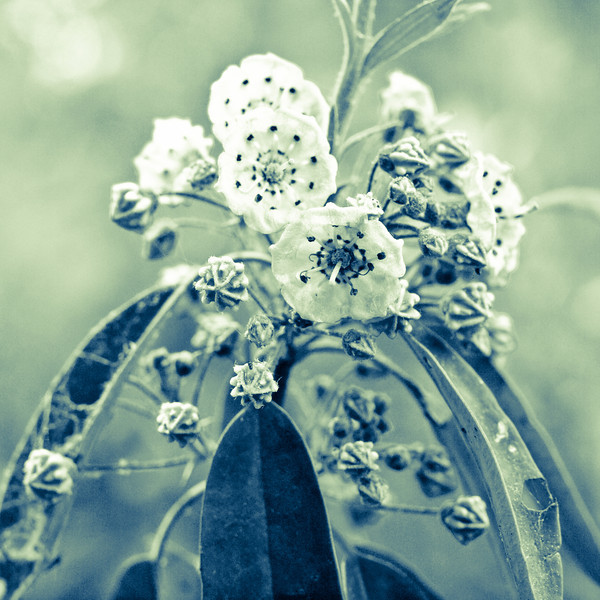 Just playing with a shot of sheep laurel, I kind of like it.