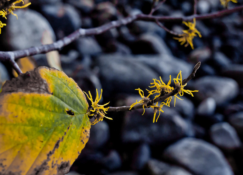 Witch hazel blooms by Lake Massabesic.  The contrast between the bright yellow and the dark rocks attracted me and the more extreme post processing brings the mood I wanted.