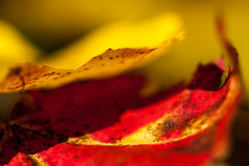 Playing in the fallen leaves with the OM 90mm macro. Dreamy bokeh.