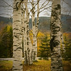 A autumn photo of a small stand of white birch trees.