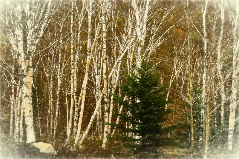 A digital art photograph  of   a stand of white birch trees in north western Maine. A beautiful autumn day.