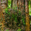 Giant redwoods,with seedling burl bursting with new life,
