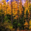 Stand of Tamarack Larch pines in Northern New Hampshire