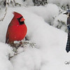 Male Cardinal and a Bluejay perching on snow covered juniper branch.