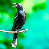 Red wing blackbird perching and singing