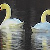 Two Swans swimming together.