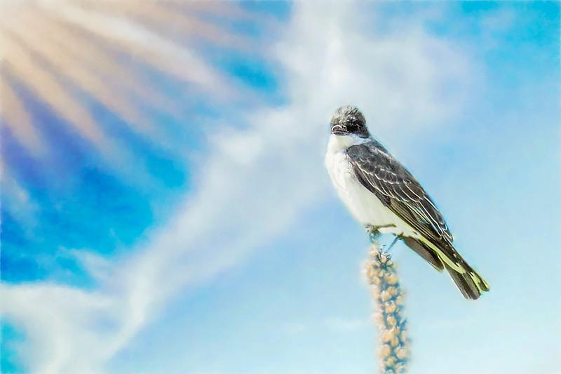Eastern Kingbird perching on thistle.