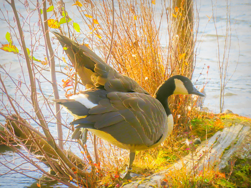 Canada goose standing one foot