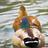 Mr. Mallard duck following Lady mallard.