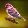A house finch perching on a branch.