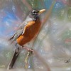 An American Robin perching on small berry limb