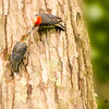 Red-Bellied woodpecker feeding young.