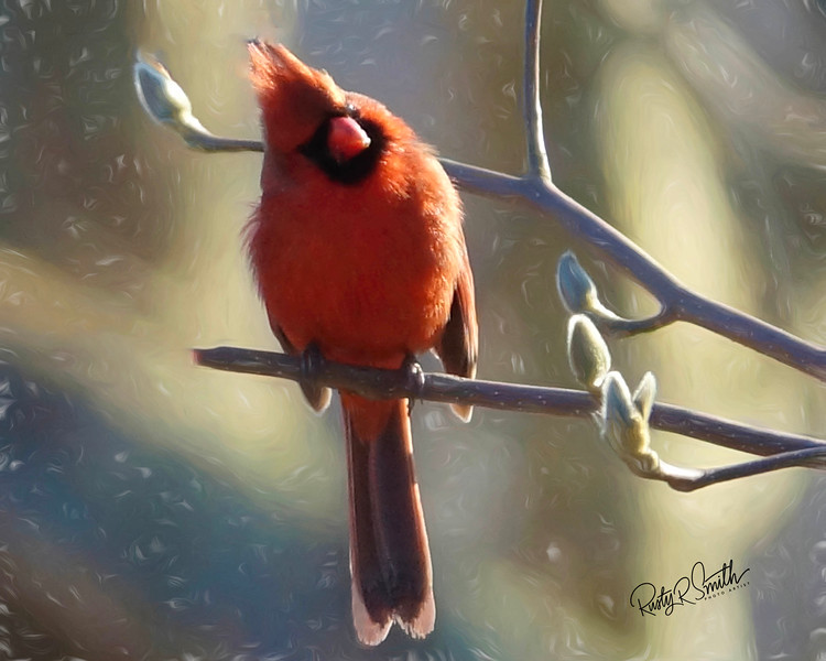 Male cardinal perching on a branch with tulip tree buds..