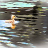 Very young gosling swimming alone.