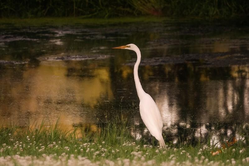 White egret standing near small pond.