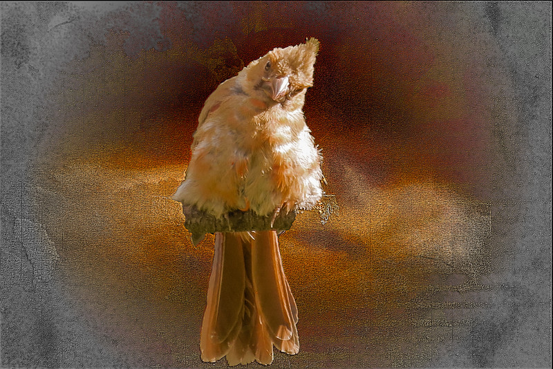 A young fuzzy cardinal.