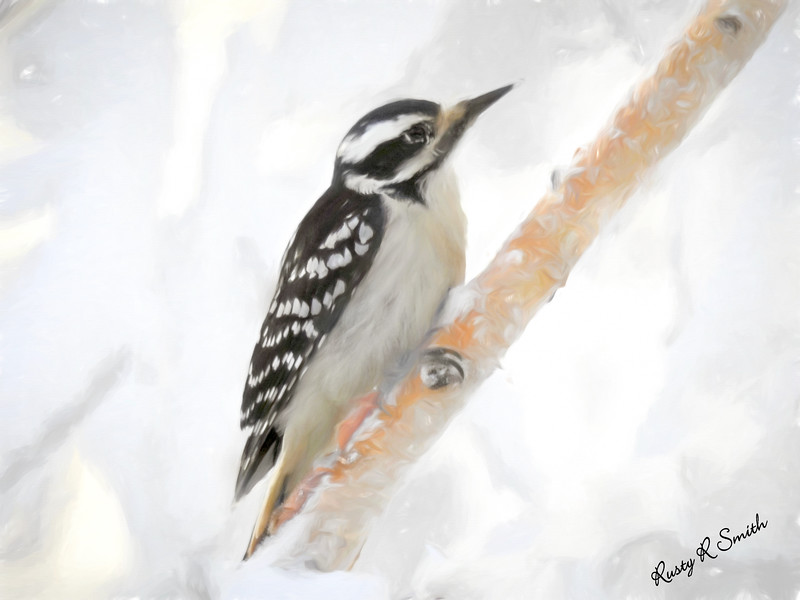 Downy woodpecker clinging to a branch.