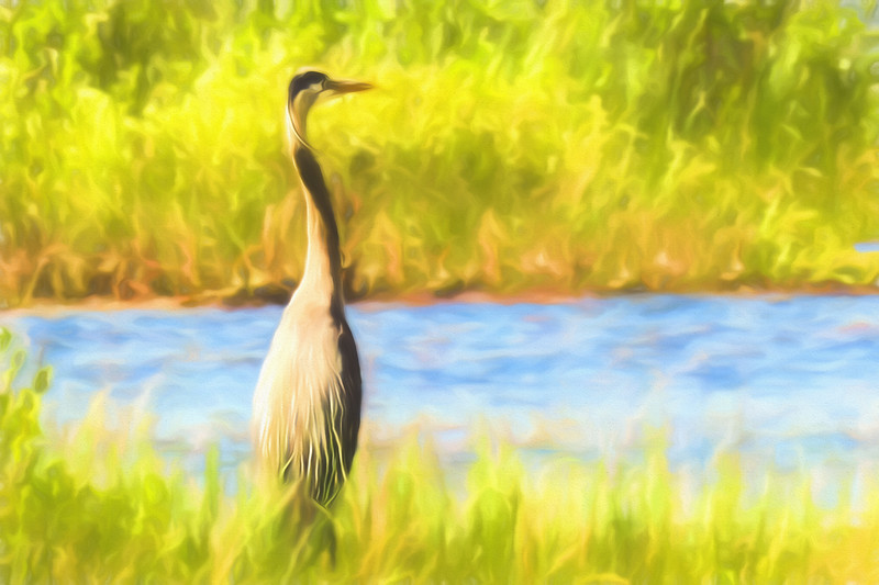 Blue Heron standing tall and alert