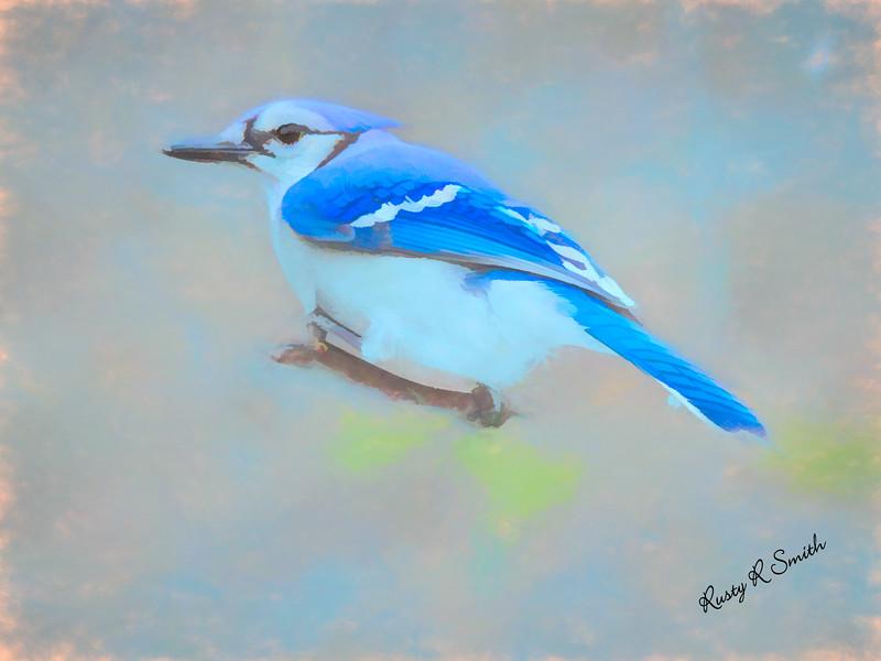 Soft Bluejay portrait