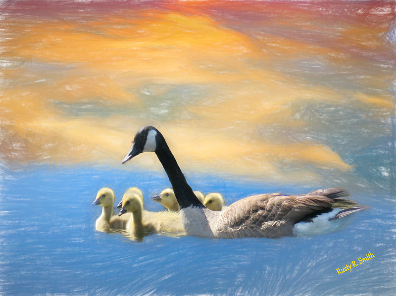 Canada Geese family swimming.