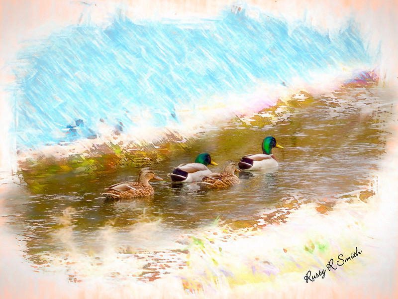 Two pair of Mallard ducks.