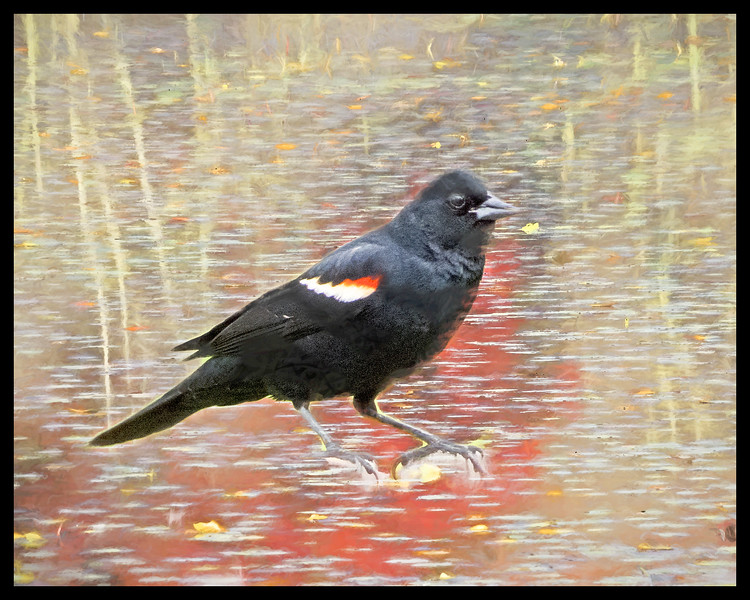 Red Winged Black bird perching
