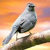 Grey Catbird portrait