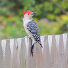 Young red bellied woodpecker on fence.