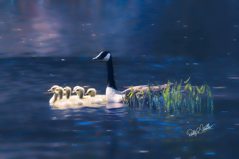Canada Goose and six goslings.
