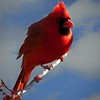 Perching male cardinal.