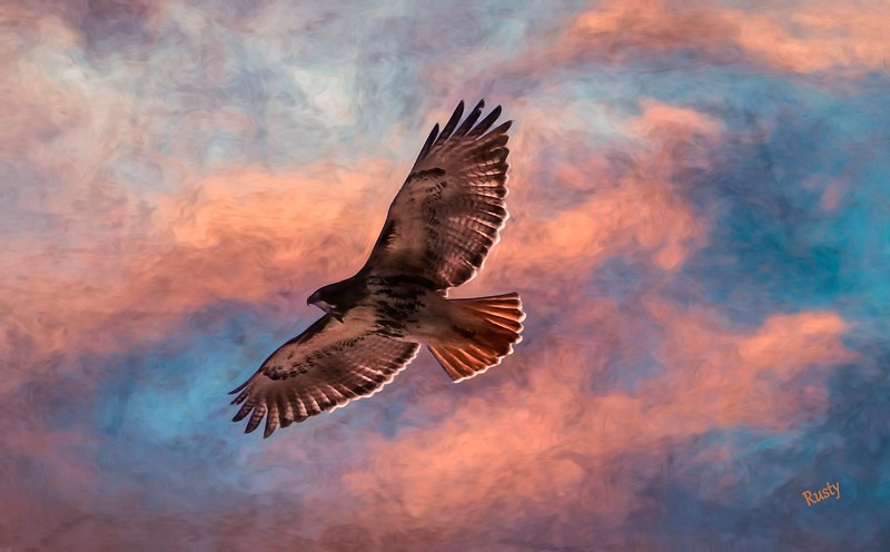 Red-tailed hawk soaring high.