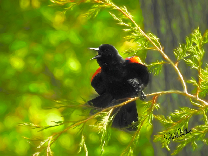 Agitated red-winged blackbird looking agitated,perched on a Juniper branch.