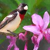 Rose-breasted Grosbeak and wild Honeysuckle blossoms.