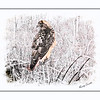 Red tailed hawk portrait.