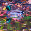 Male Mallard floating among the autumn leaves