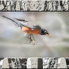 American Robin perching alertly on small branch