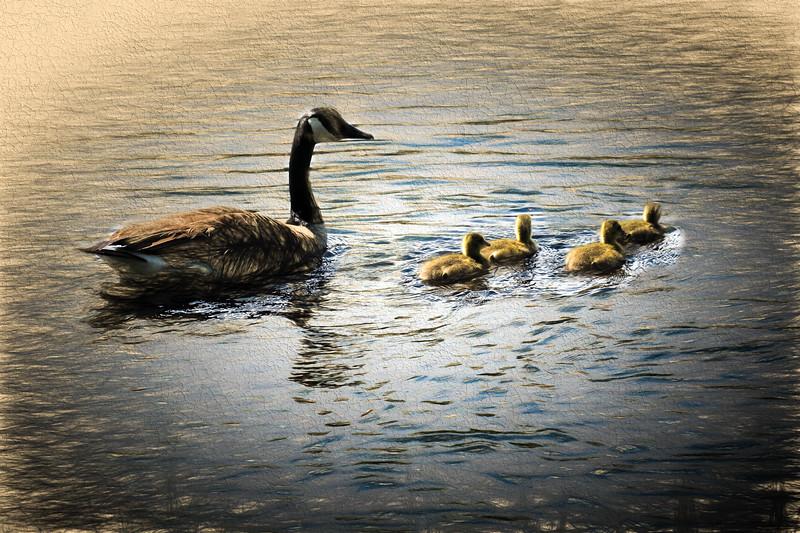 Canada Goose four Goslings.
