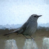 Gray Catbird perching on a fence.