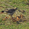 Red Tailed Hawk with prey.
