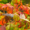 A natural Autumn still life with a cluster of colorful Fall leaves and a canada goose feather.