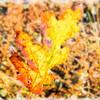 Fallen oak leaf.