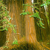 A group giant redwood trees in Muir Woods,California.