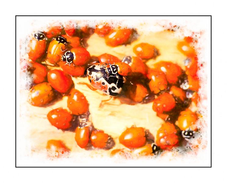Ladybug aggregation
