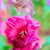 Gladiola blossoms. in the rain.