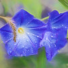 Purple Morning Glories in the rain.